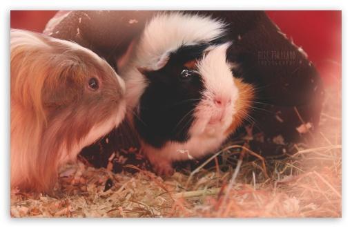 Cute Guinea Pigs HD wallpaper for Standard 43 54 Fullscreen UXGA XGA 510x330
