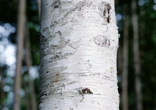 White Birch Bark Wallpaper European white birch bark 640x454