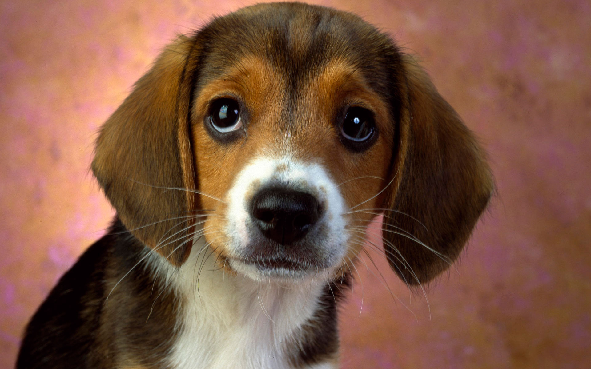 Puppy Eyes Beagle Wallpapers HD Wallpapers 1920x1200