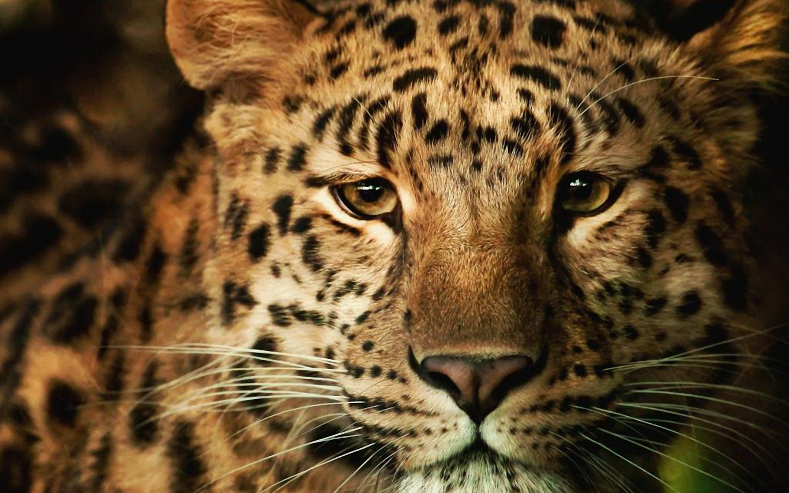 Animal Leopard Big Cat Snow Leopard Wallpaper Full HD Wallpapers 2560x1600