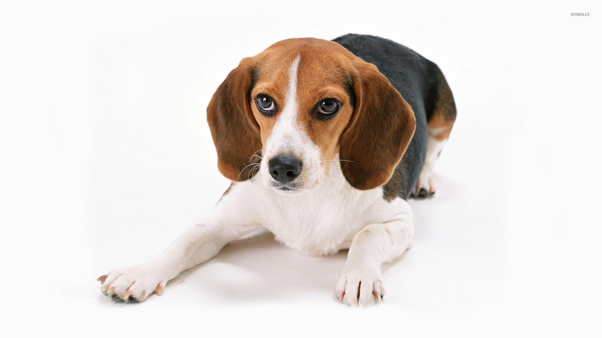Beagle wallpaper   Animal wallpapers   17934 1920x1080