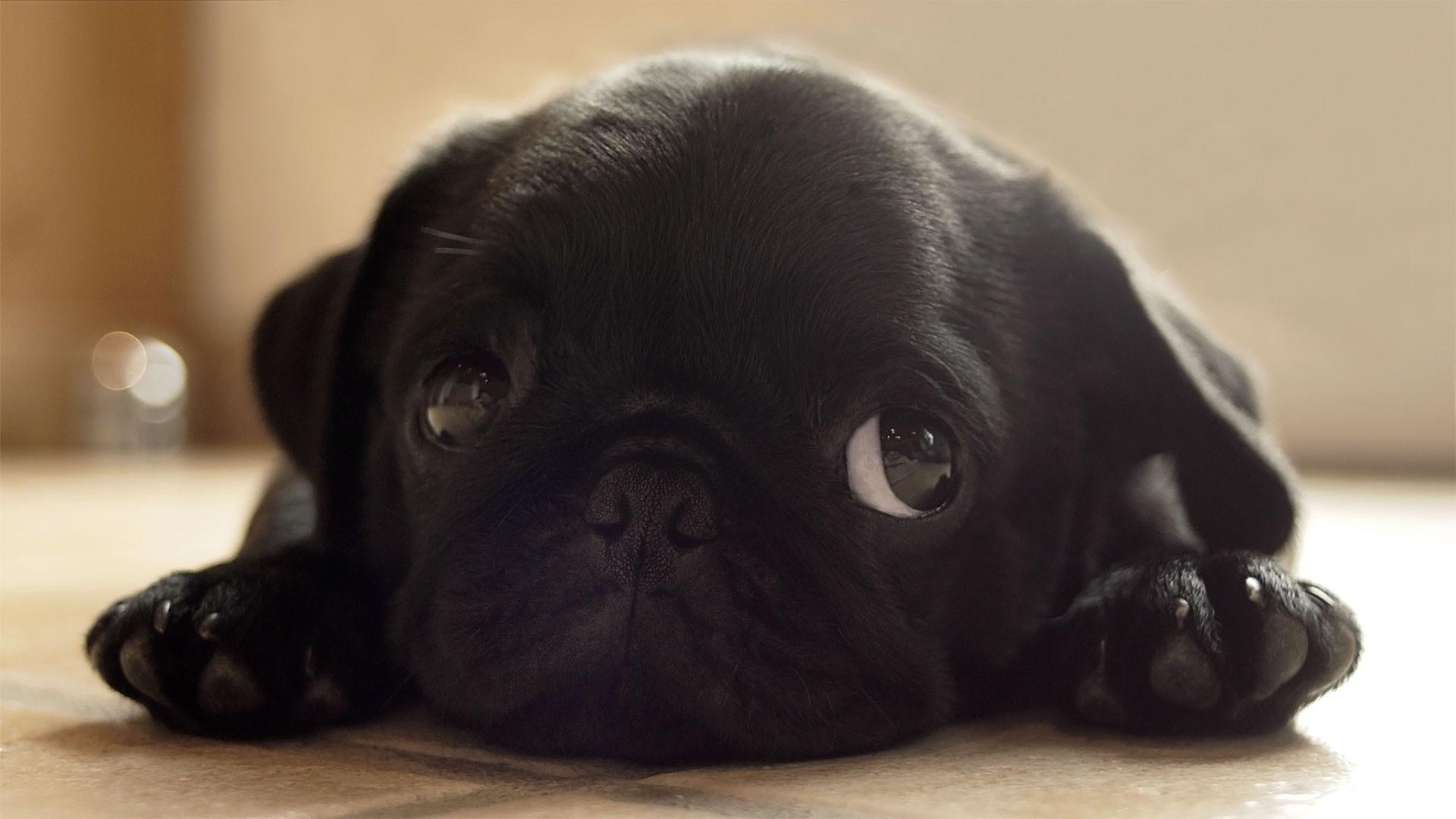Free download Black animals dogs pugs puppies pug wallpaper