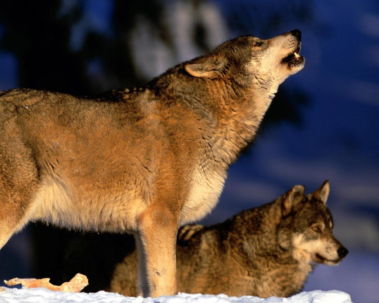 3d wolf wallpaper wallpapersafari - 3d animal wallpaper ...