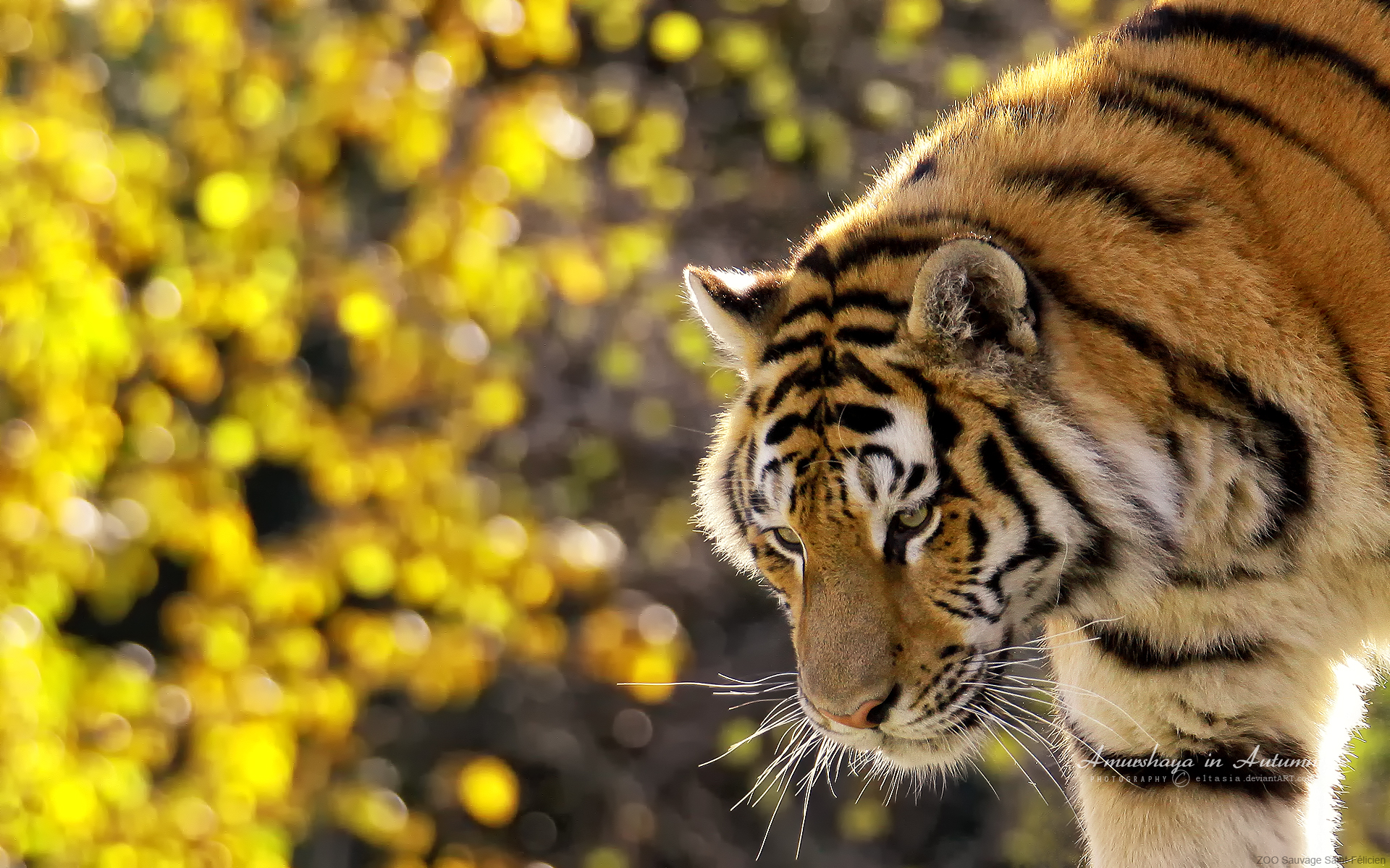 Beautiful Tiger Wallpapers HD Wallpapers 1920x1200