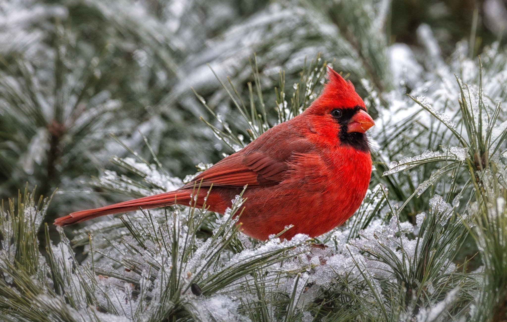Cardinals in Winter Desktop Wallpaper - WallpaperSafari