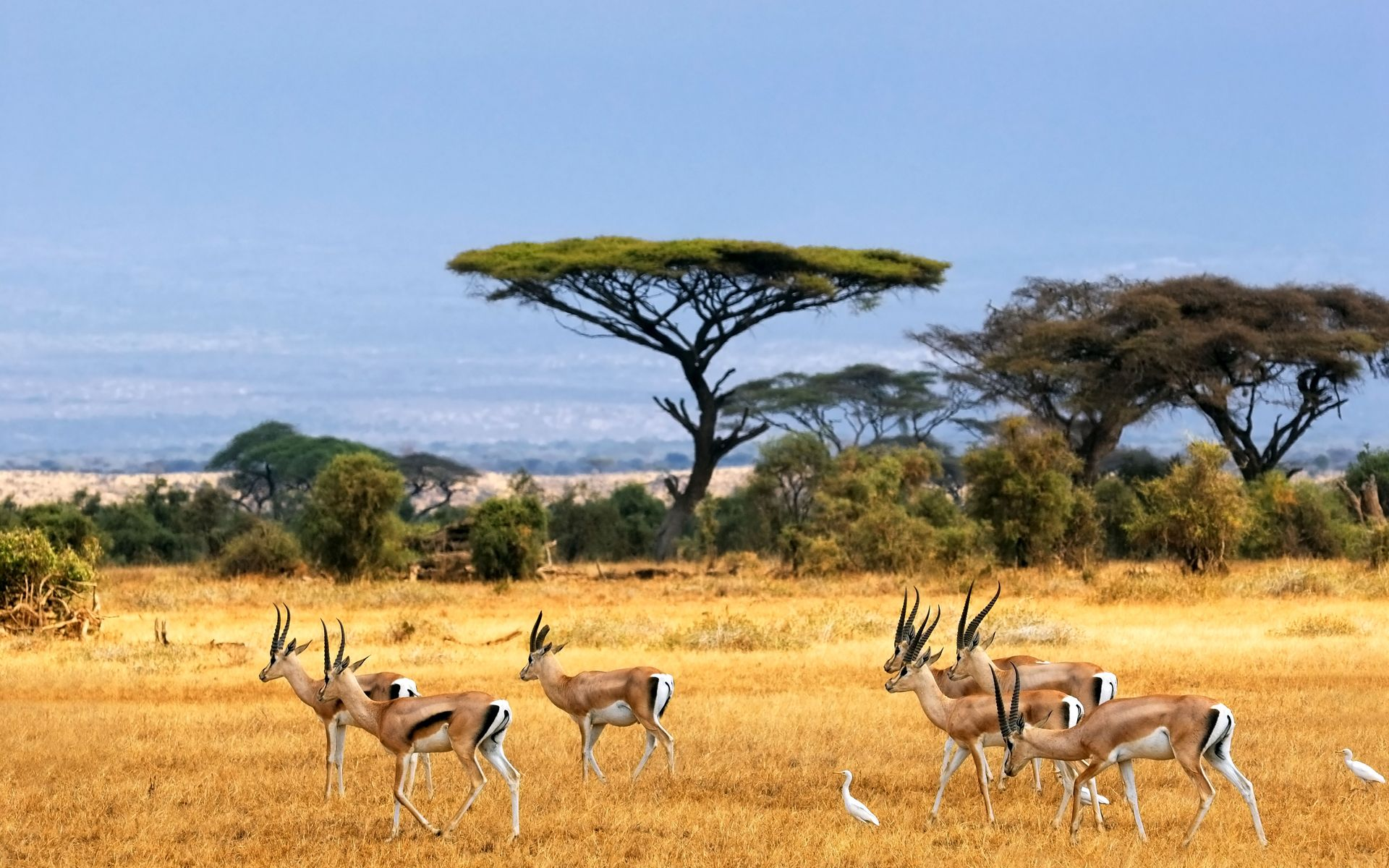 savanna, african landscape, antelopes, safari, africa,   HD Desktop ...