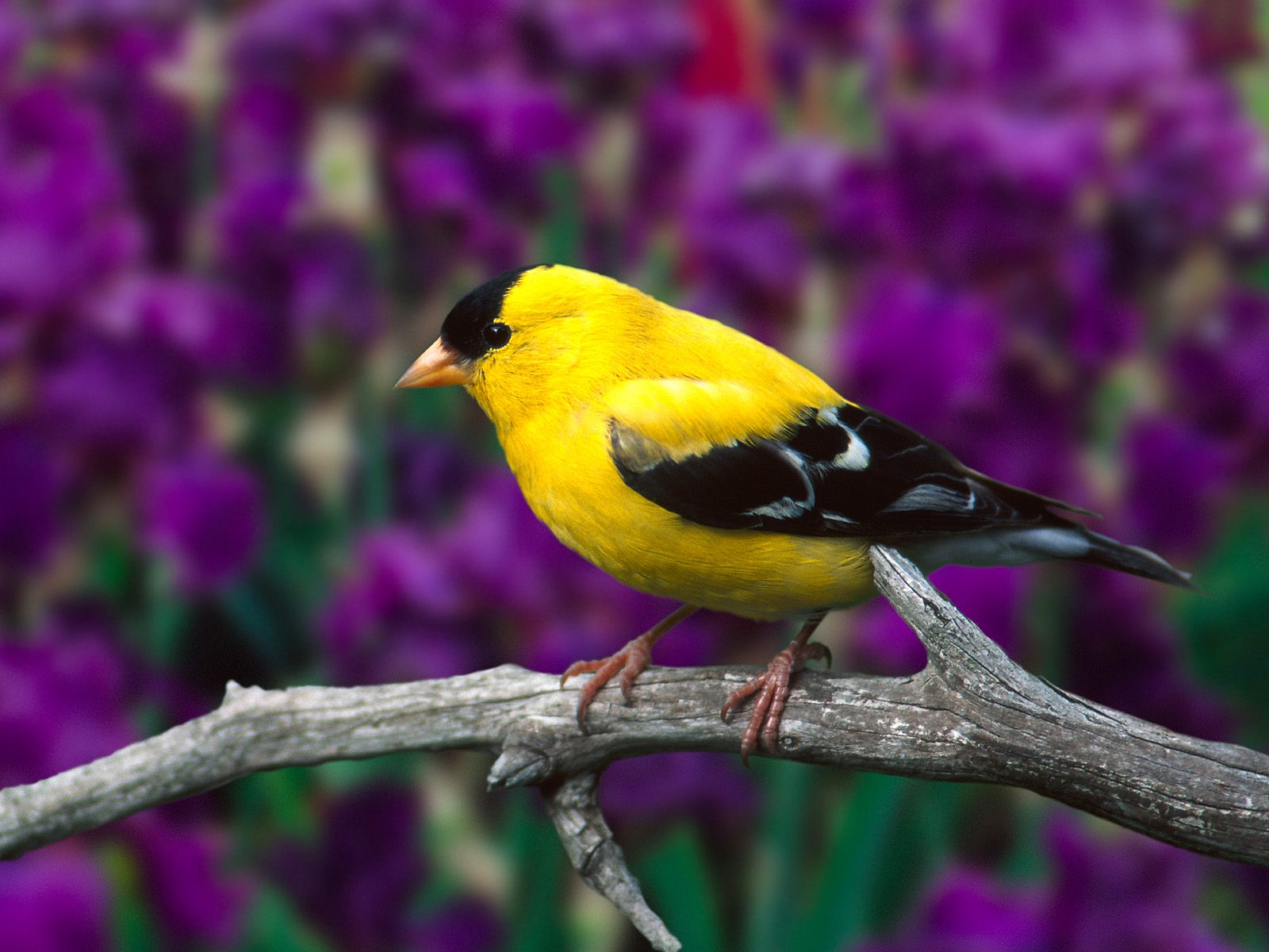 YELLOW BIRD ON TREE BRANCH WALLPAPER   283   HD Wallpapers 1600x1200