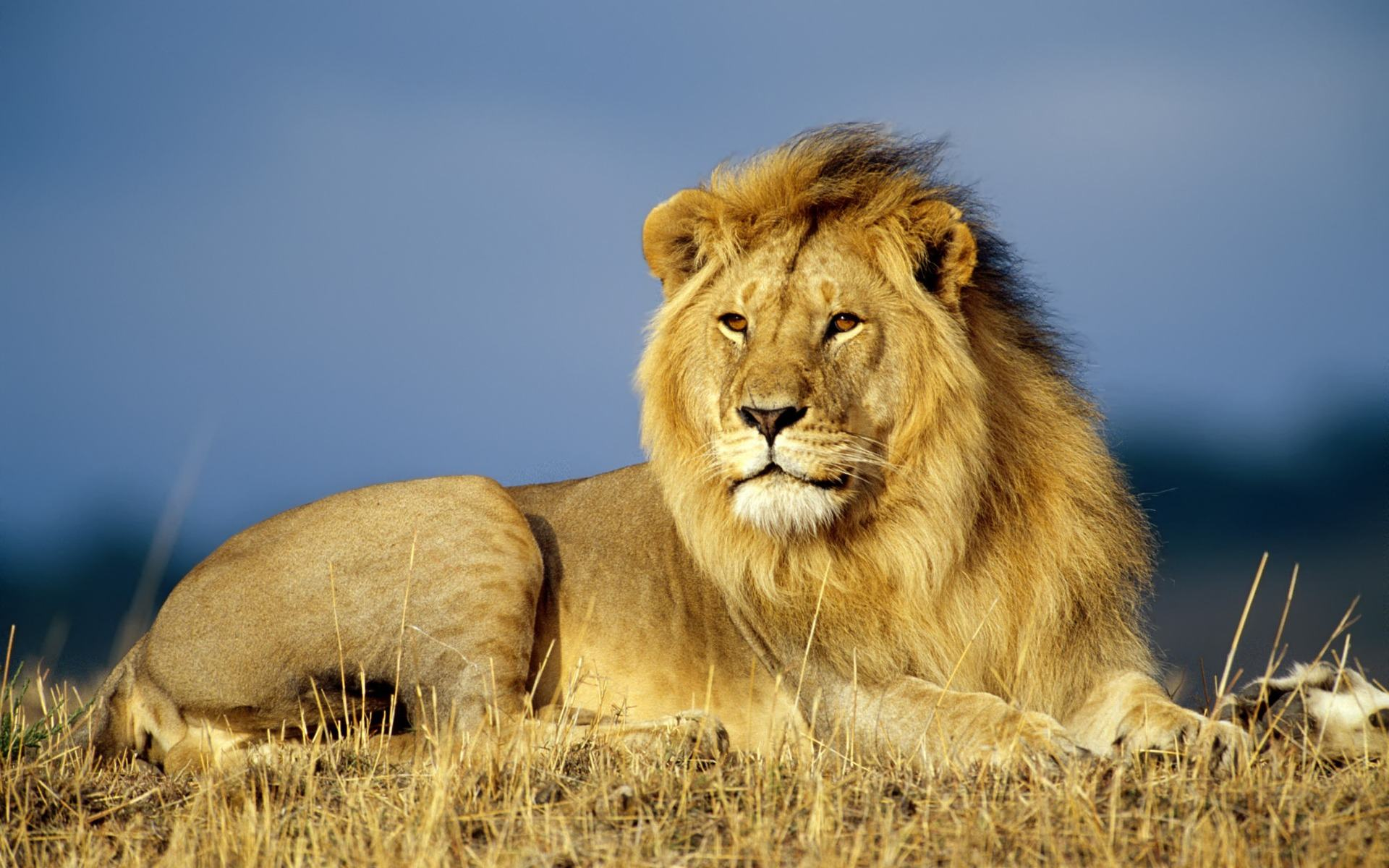 Download Wallpapers Backgrounds   Lions Animals Wallpapers 1920x1200