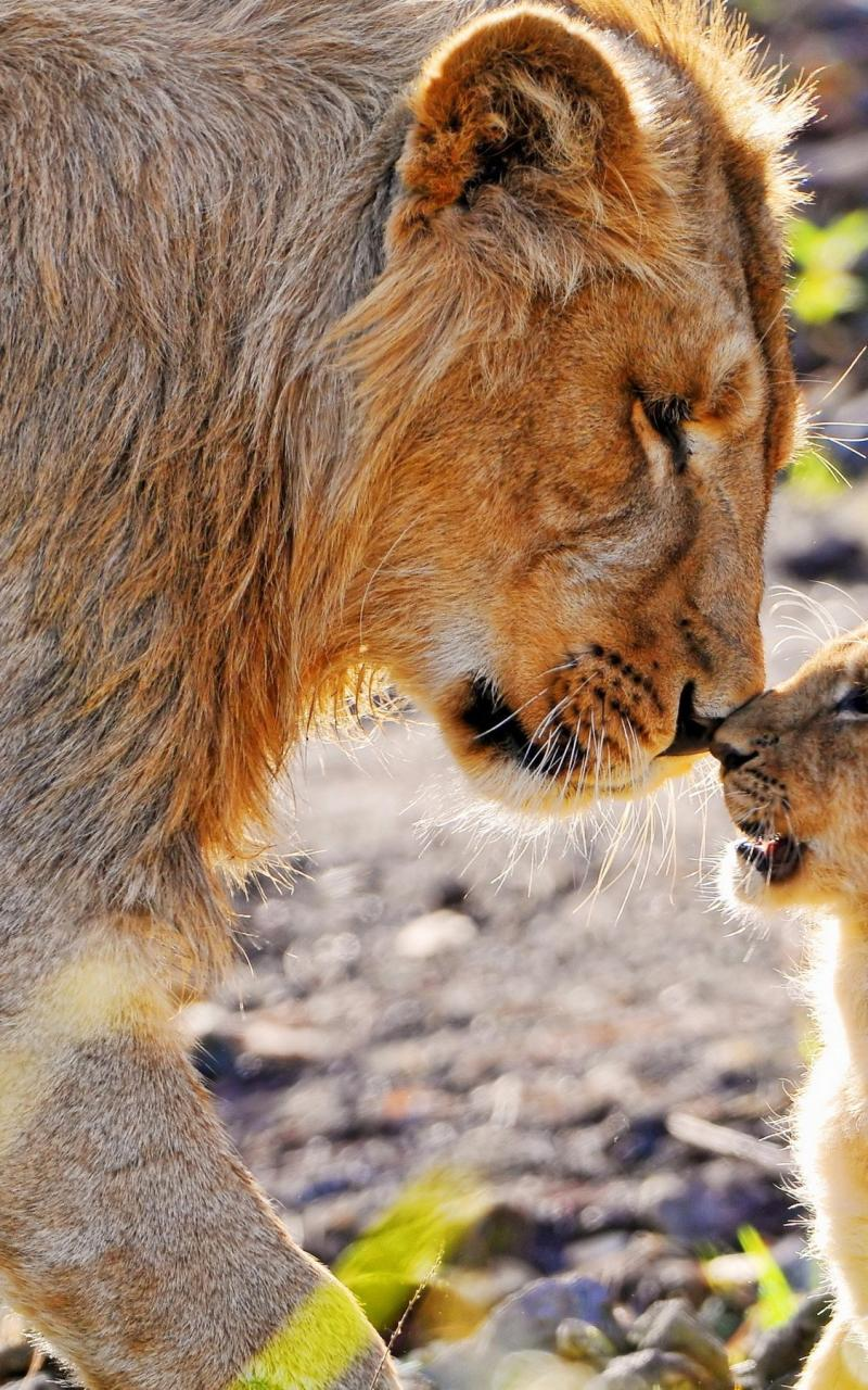 Animals cubs lions baby wallpaper 23159 800x1280