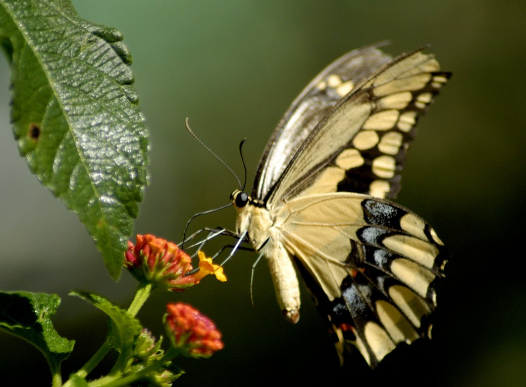 Animated butterfly wallpaper 1042x768
