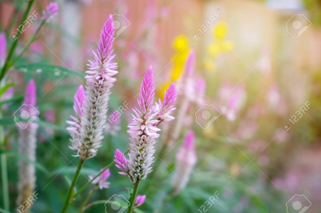 Cockscomb Flower Beautiful Pink Celosia Flamingo Feather Flowers 1300x866