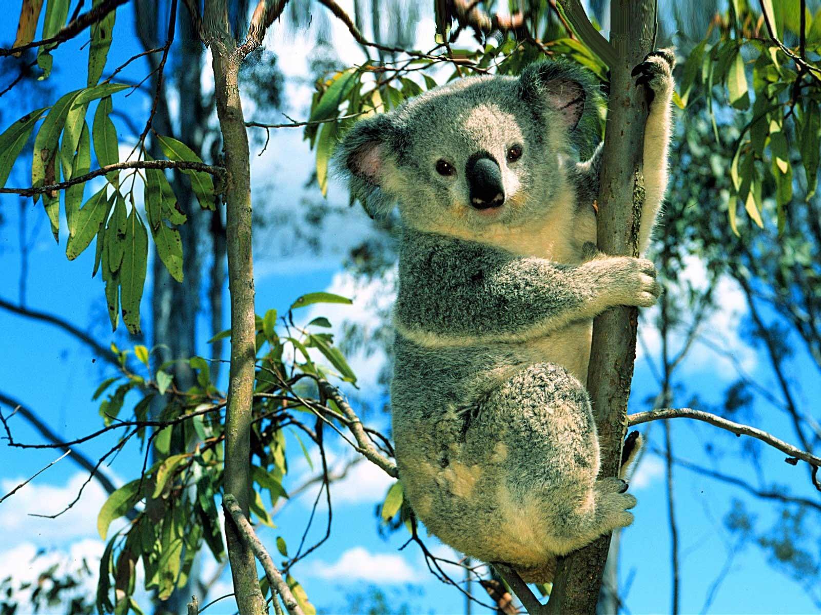Koala Bear desktop wallpaper