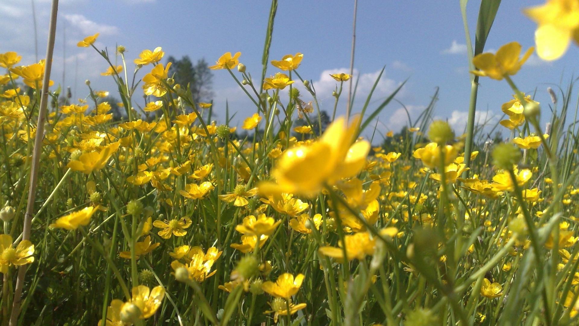 Wallpaper 1920x1080 flowers yellow field summer holiday mood 1920x1080