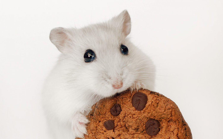 Pics Photos   Funny Hamster Desktop Wallpaper 1440x900
