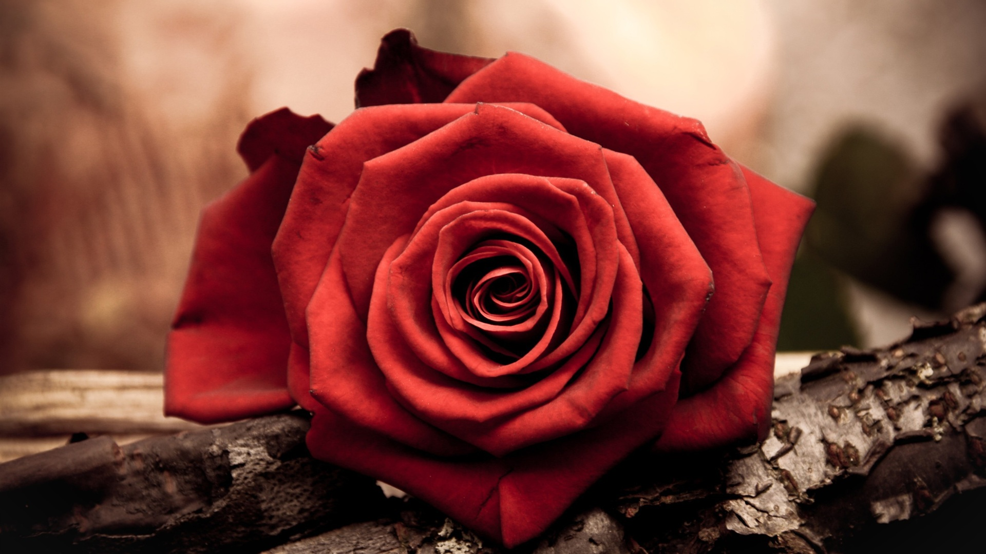red rose flower desktop wallpaper 1920x1080   Magic4Wallscom 1920x1080