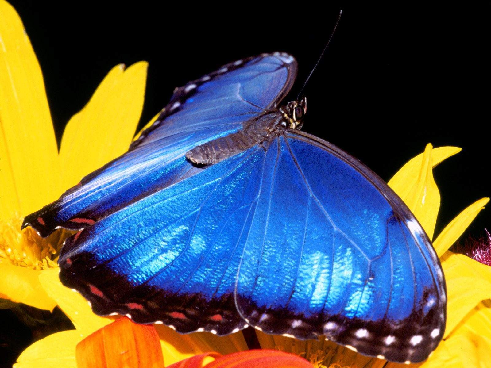 blue morpho butterfly wallpaper hd high resolution backgrounds hd with 1600x1200