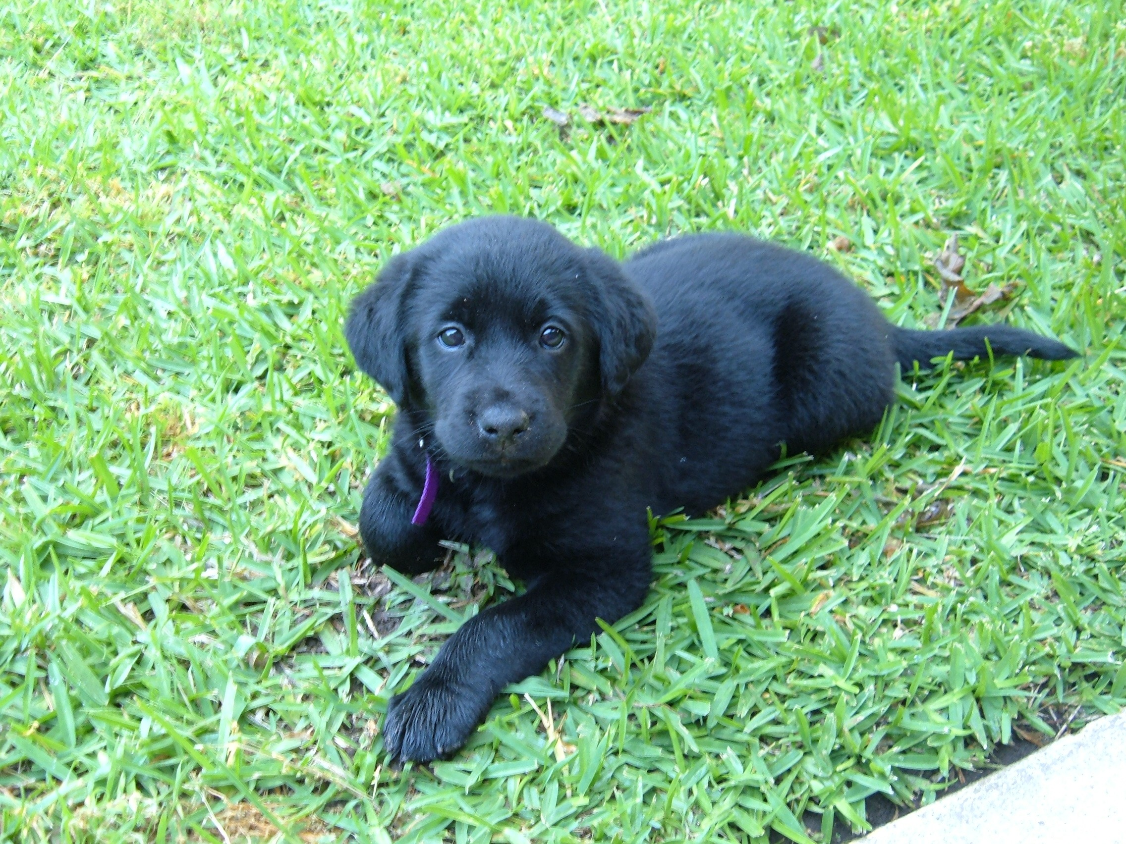Black Lab Images Pictures   Becuo 2272x1704