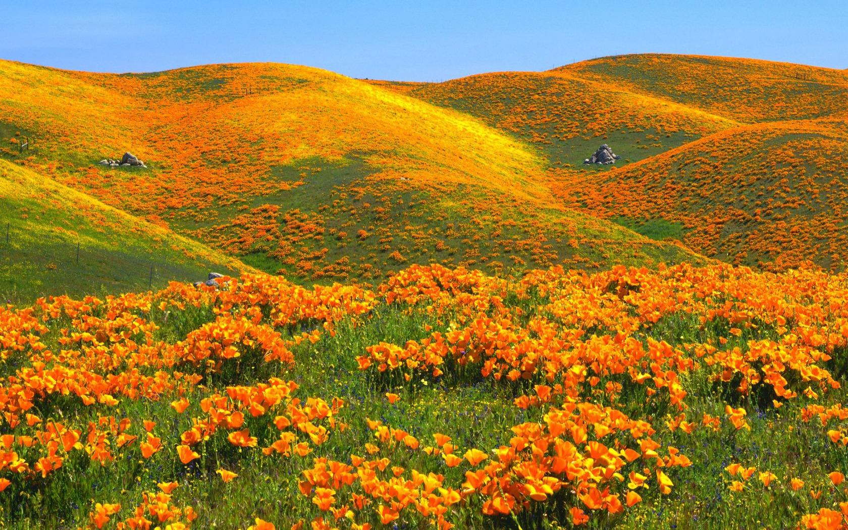 Download California poppy field wallpaper 1680x1050