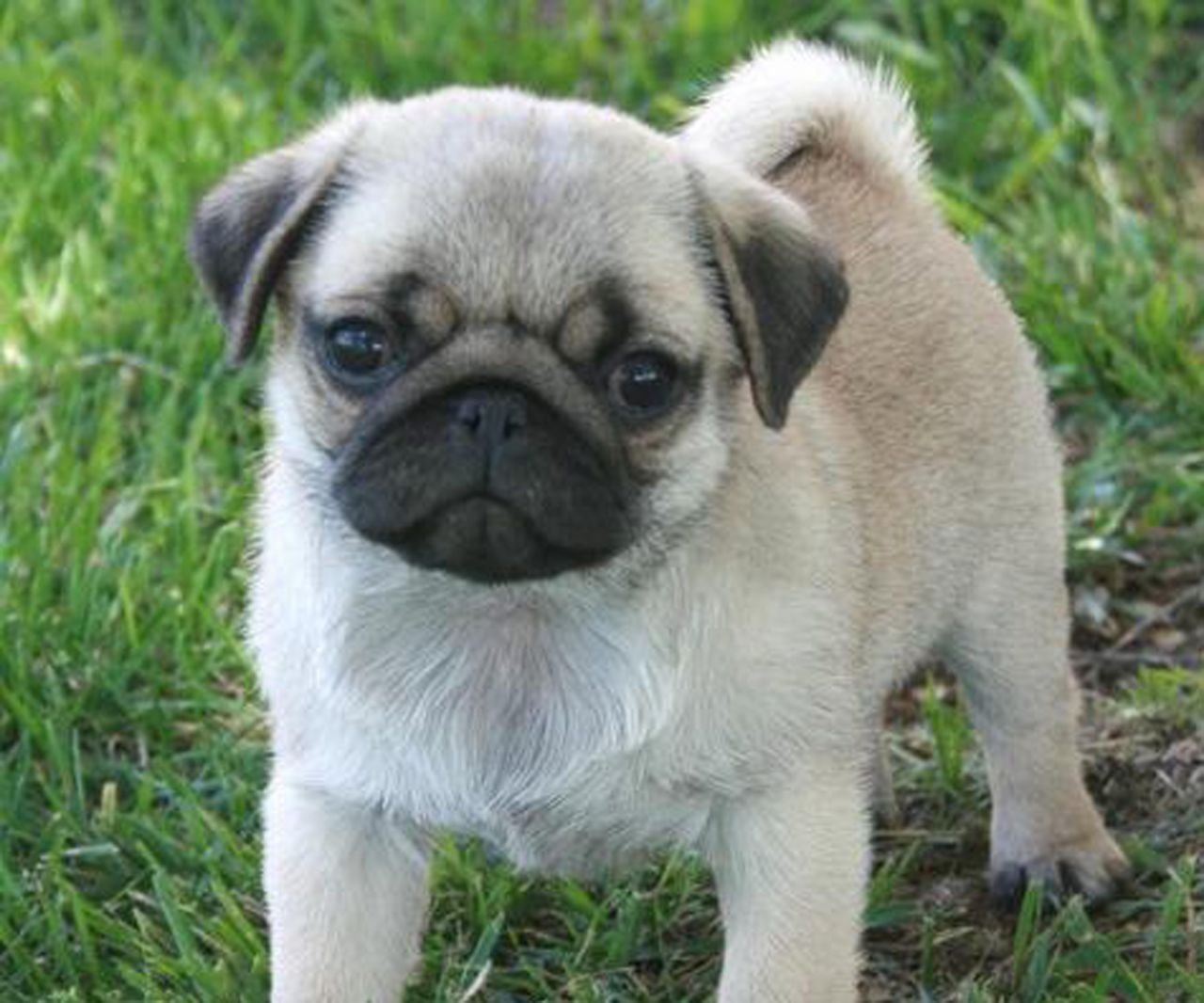 pug image for sale Desktop Backgrounds for HD Wallpaper wall 1280x1066