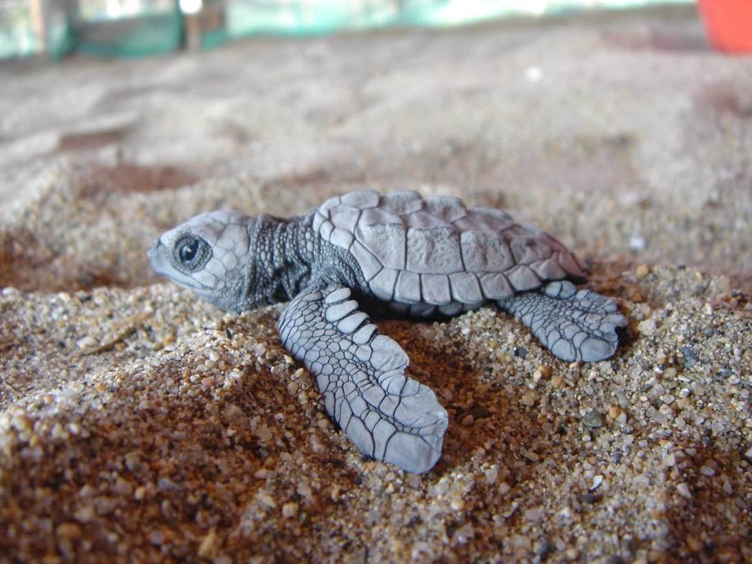Baby Turtles   Turtles Photo 24741881 1096x822