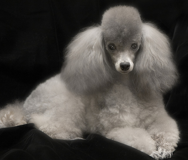 Animals Zoo Park Toy Poodle Dog Pictures Poodle Dog Pics 640x547