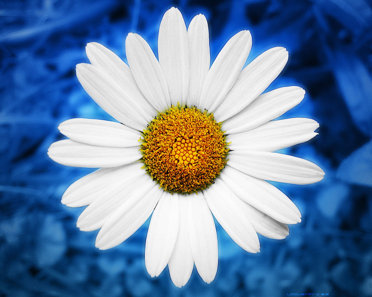 Liana Conis Blog daisy wallpaper hd 1280x1024