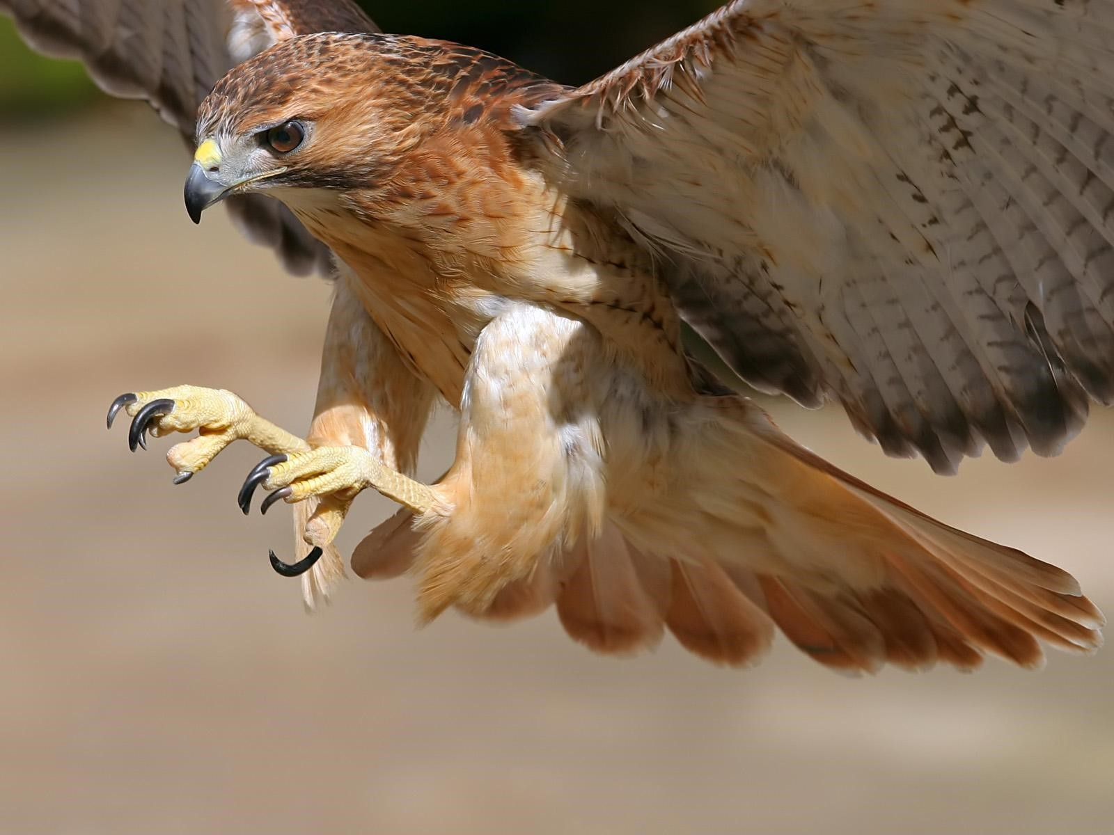 Hawk Bird Flying Wallpaper HD Wallpapers 1600x1200