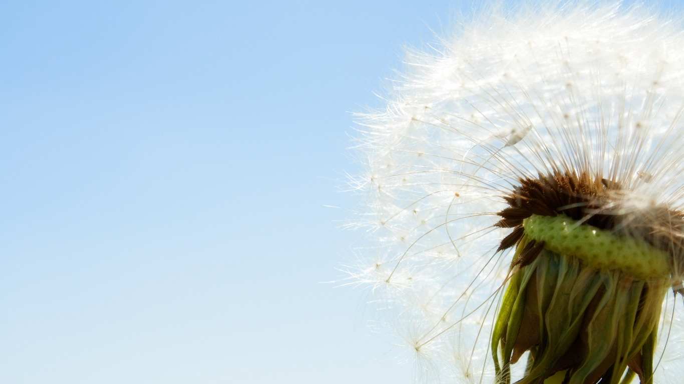 dandelion close up wallpaper plant desktop background 1366x768