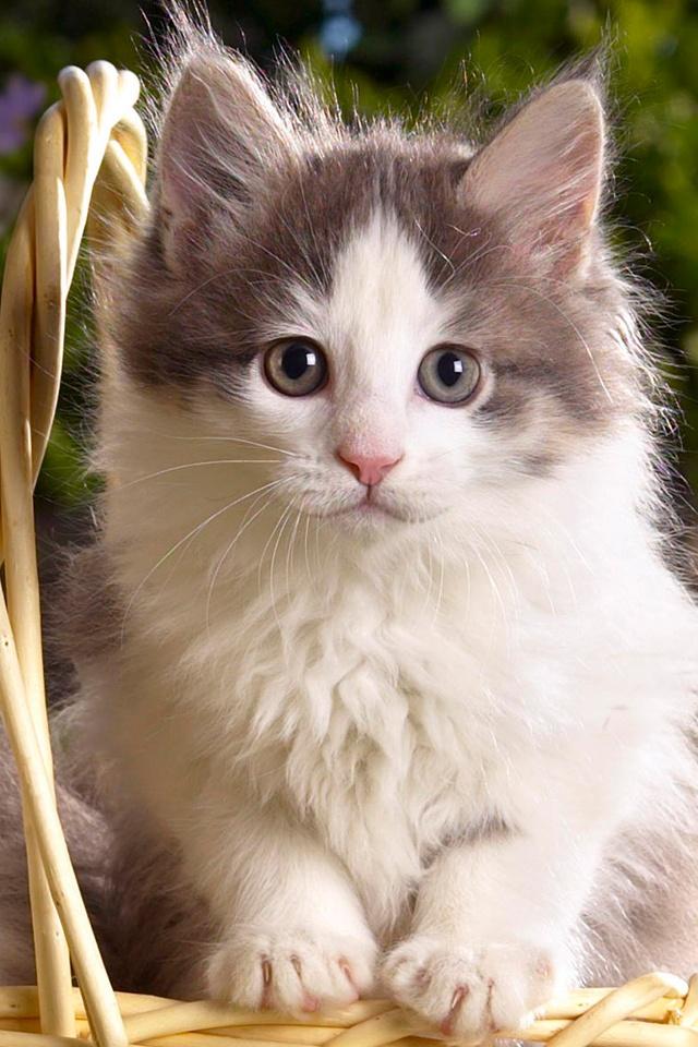 Cute kitten iphone wallpaper wallpapersafari - Cute kittens hd wallpaper free download ...