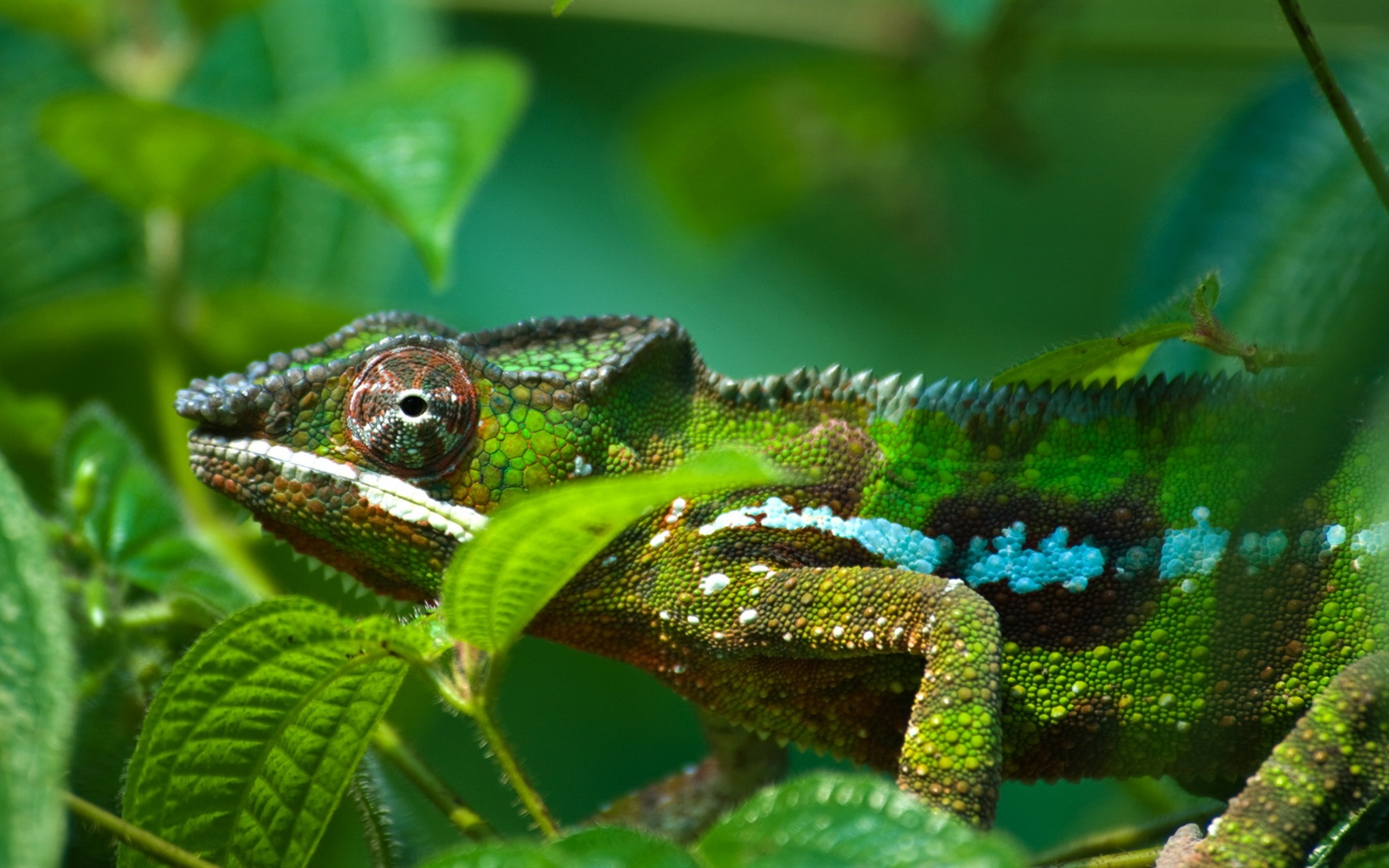 Amphibians a chameleon wallpaper 1680x1050