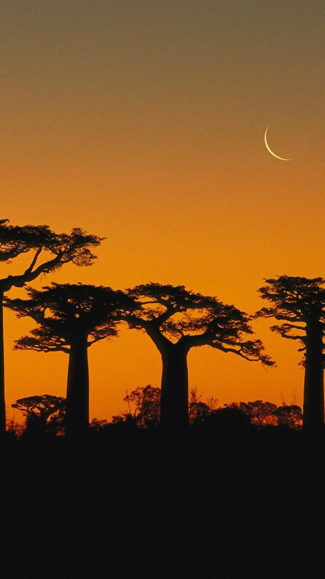 Free Download Trees Madagascar Baobab Wallpaper 30698