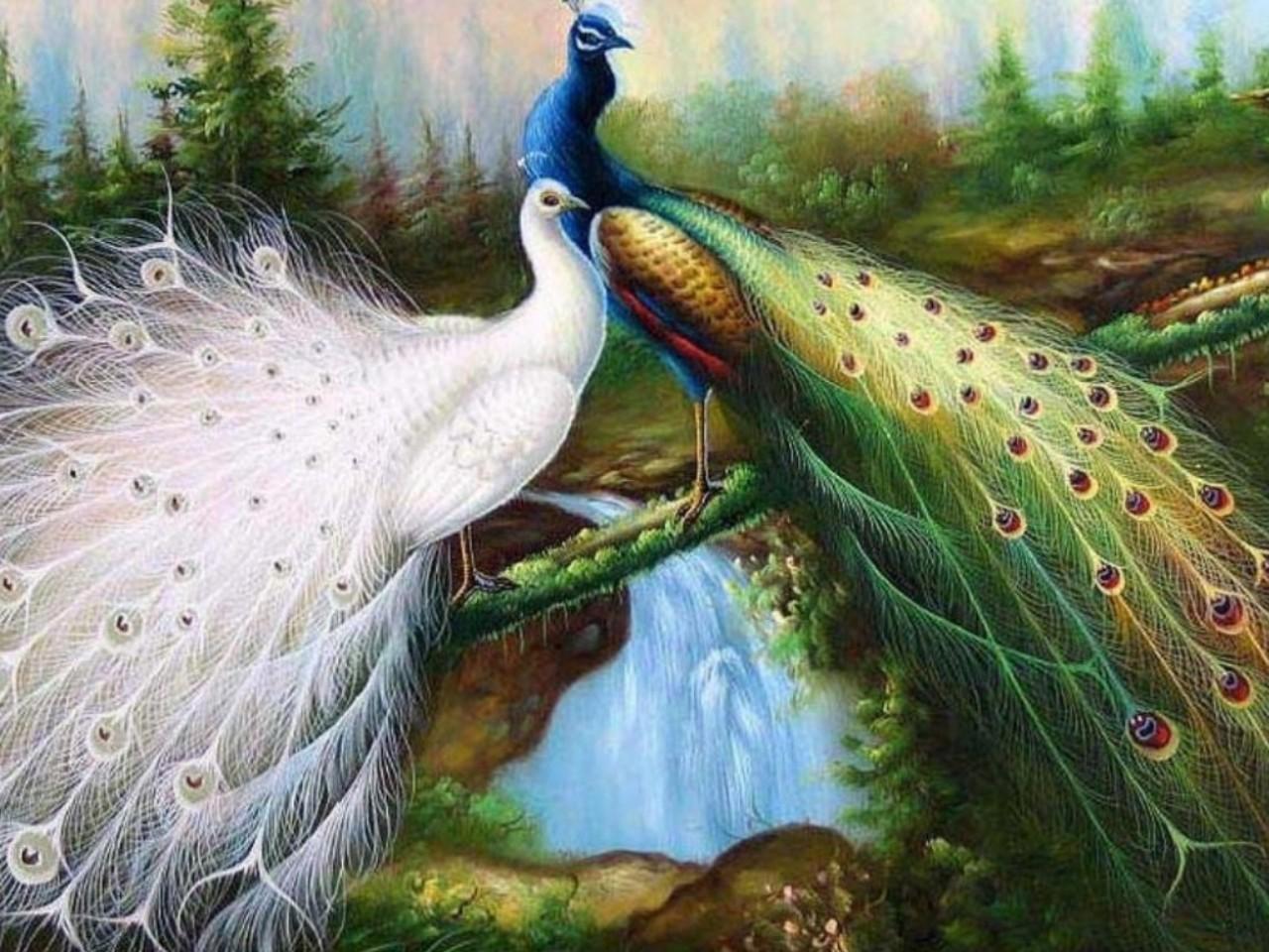 Peacock HD Wallpaper 1280x960