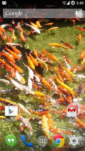 download koi fish live wallpaper for android koi fish