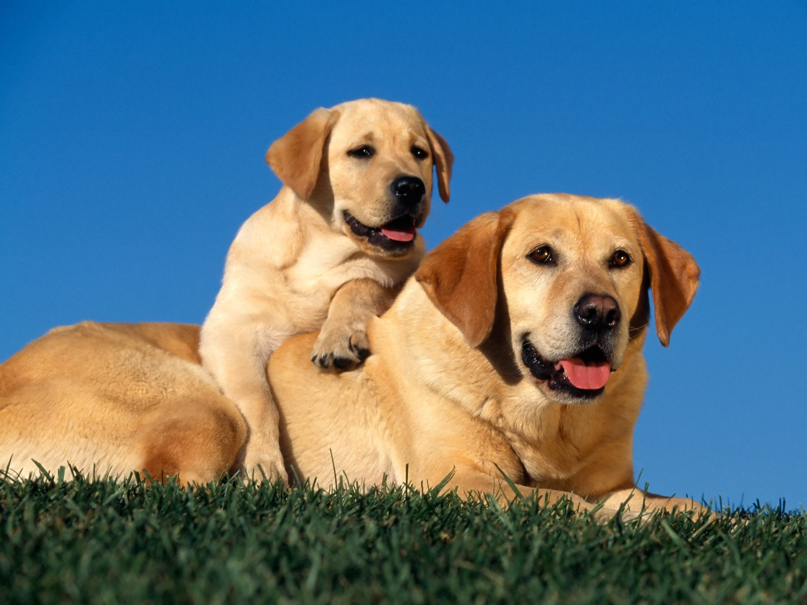 Yellow Labradors Wallpapers HD Wallpapers 1600x1200