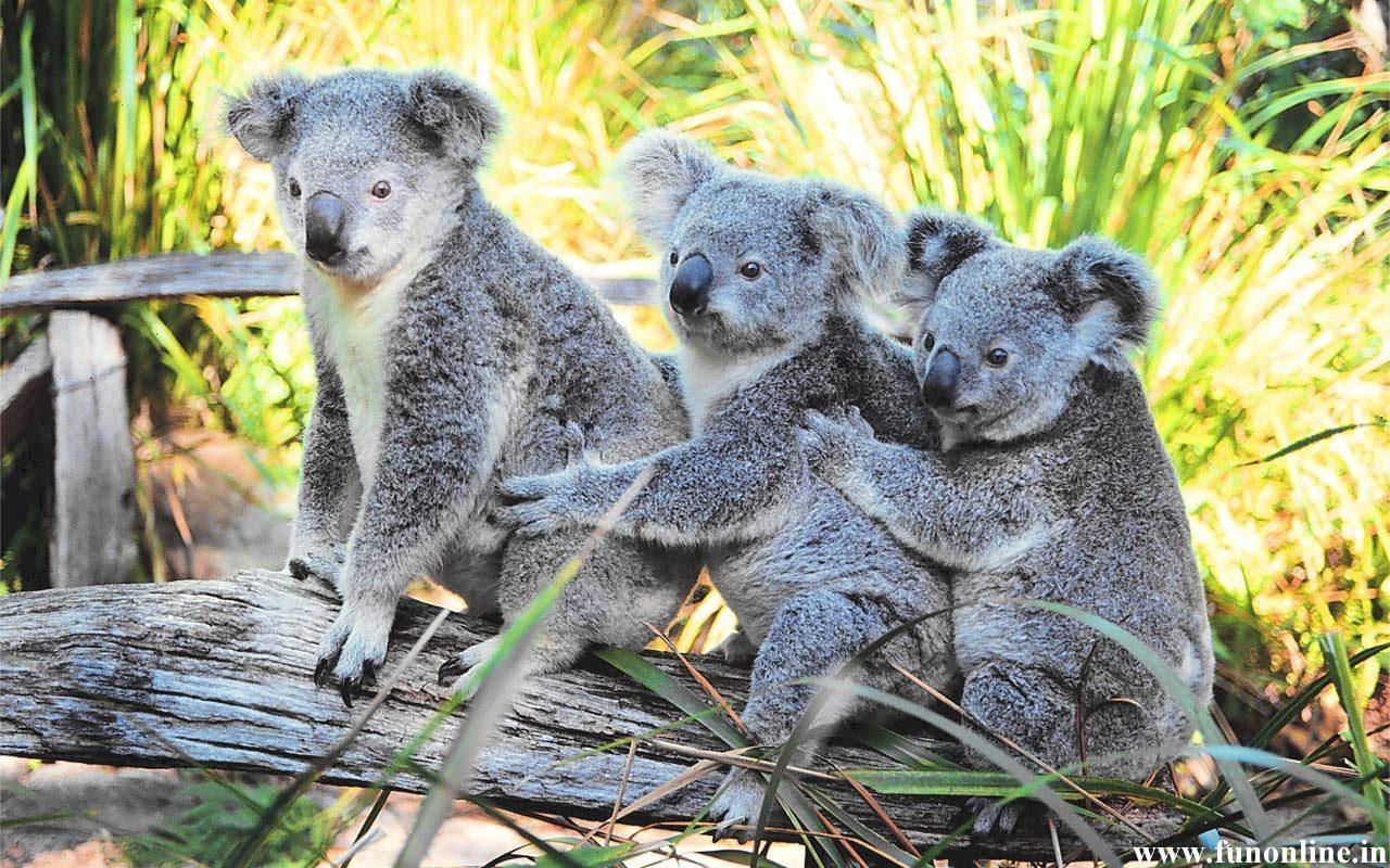 Koala Wallpapers Download Cute and Pretty Koalas HD Wallpaper 1280x800