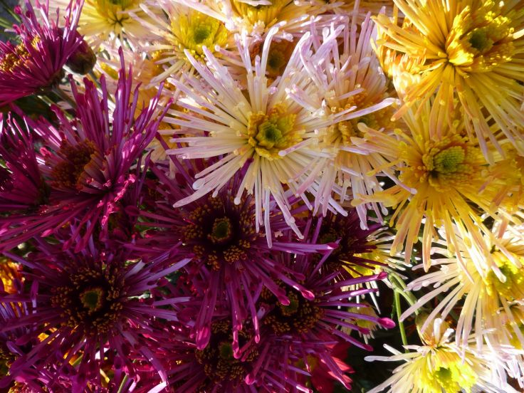 Chrysanthemums Closeup Wine color Flowers wallpaper background 736x552