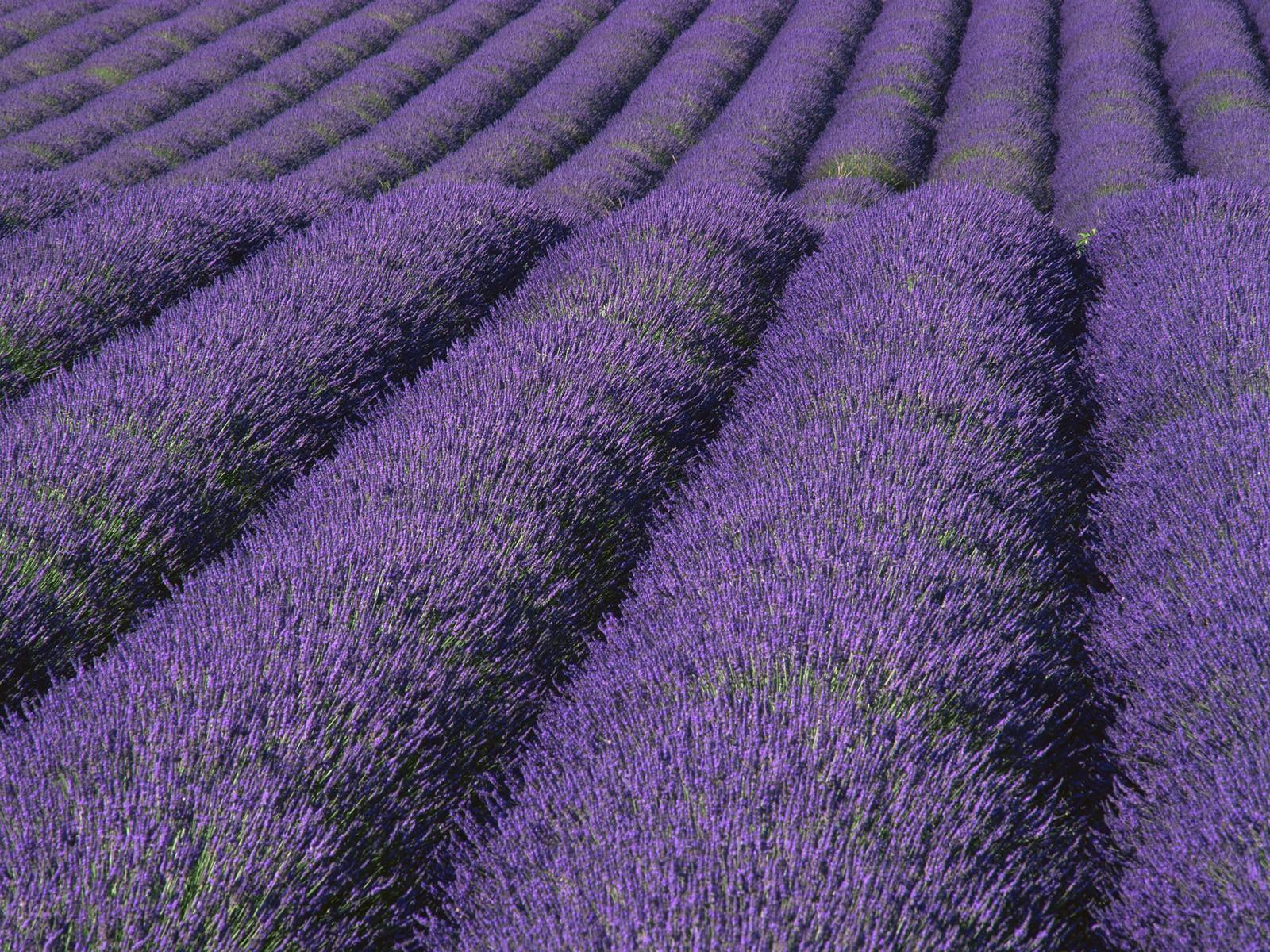Lavender Wallpaper 1600x1200 Lavender 1600x1200