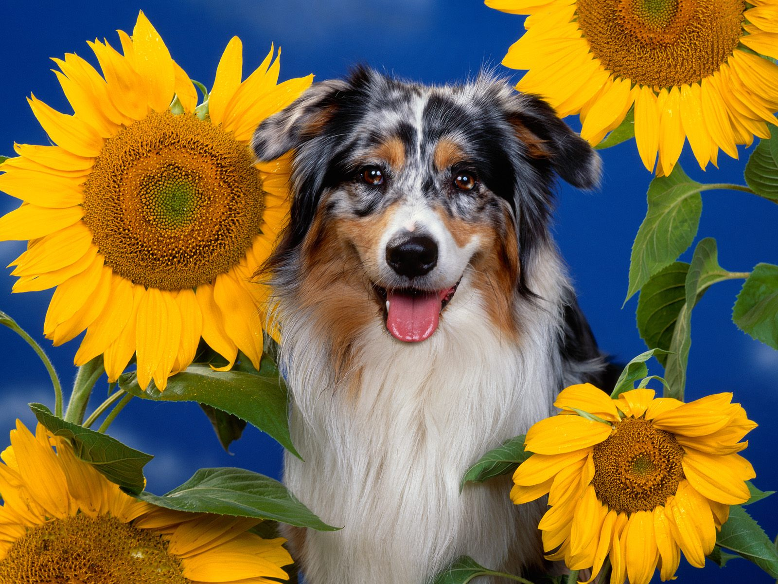 Australian Shepherd Wallpapers Photos Pictures and Backgrounds 1600x1200