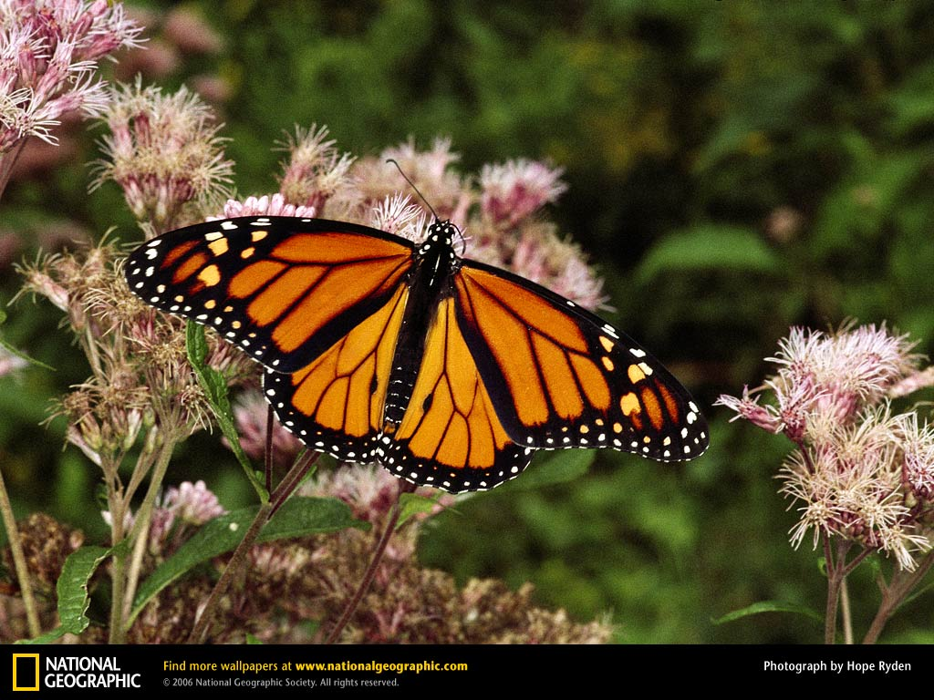 monarch butterfly hd wallpaper desktop butterflies wallpaper hd 1024x768