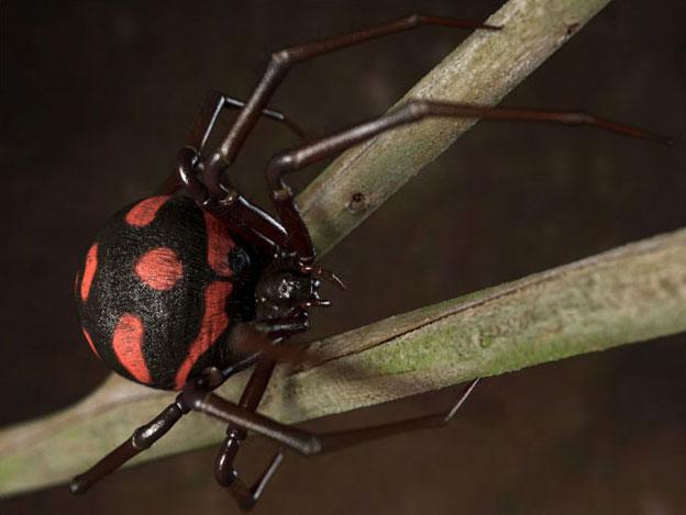 Making of Black Widow Latrodectus mactans by Zoltan Korcsok 624px 624x469