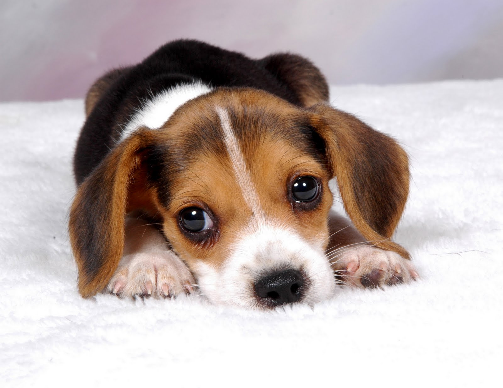 Beagle Puppy Backgrounds wallpaper Beagle Puppy Backgrounds hd 1600x1236