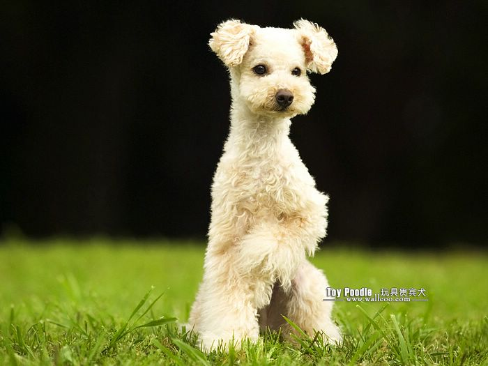Lovable Toy Poodle Puppy Curly Coat Miniature Poodle Wallpaper 26 700x525