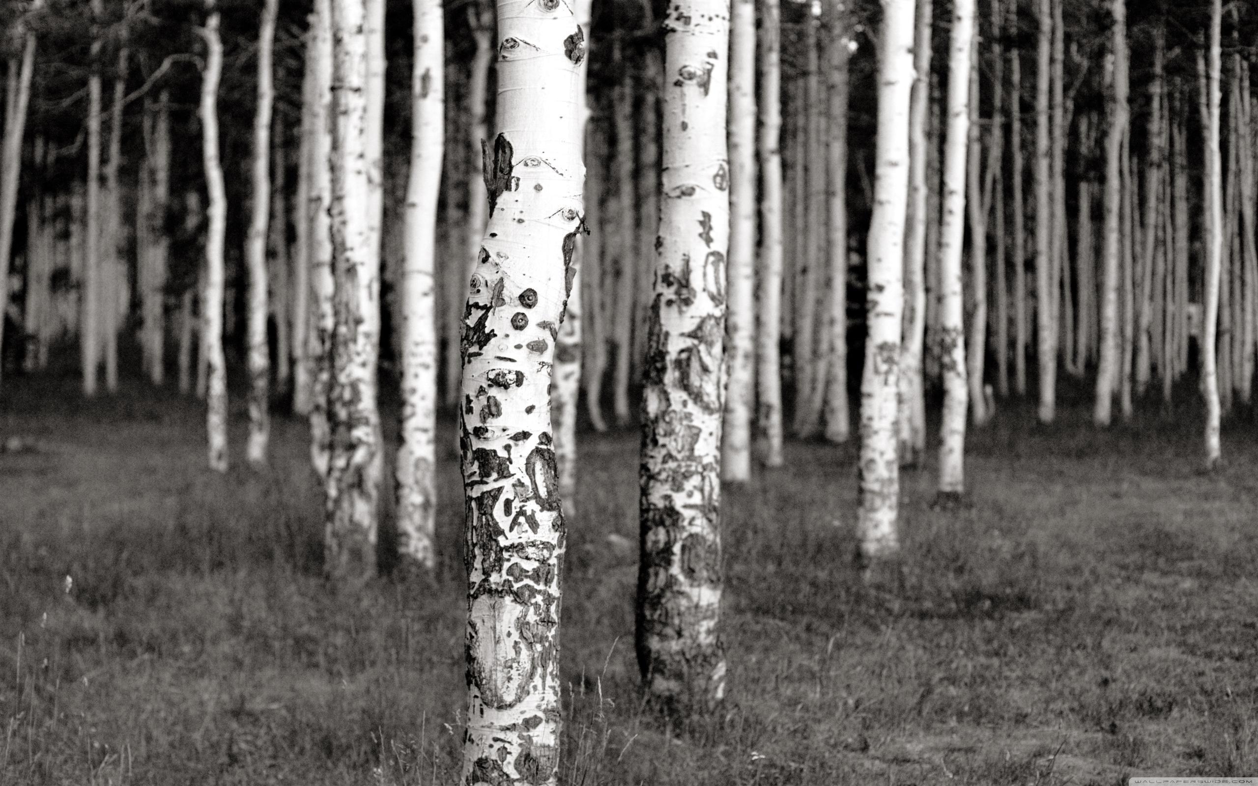 white birch tree wallpaper wallpapersafari. Black Bedroom Furniture Sets. Home Design Ideas
