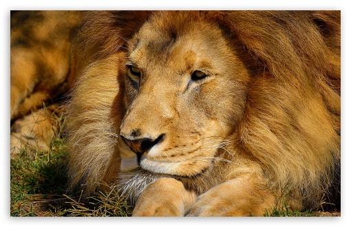 Lion Wallpaper Hd 1080p animalgals 510x330