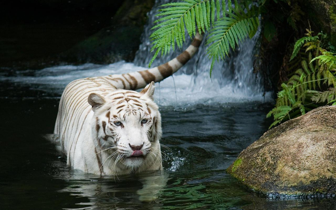 White Tiger Beautiful Wallpapers HD Wallpapers 1280x800