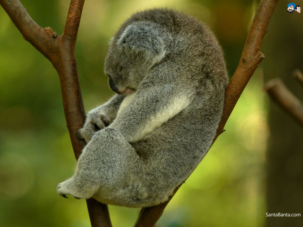 Koalas Wallpapers 1024x768