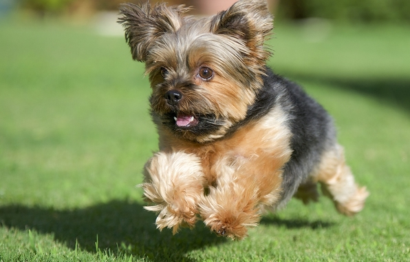 Wallpaper yorkshire terrier york dog running grass lawn 596x380