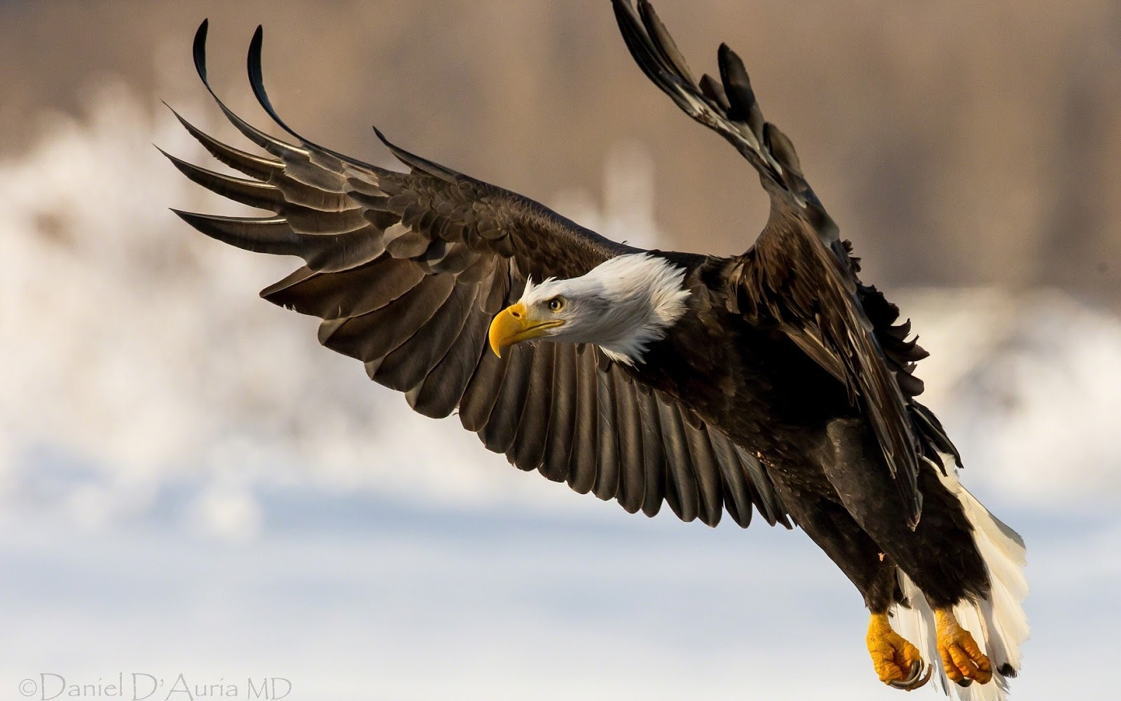 Beautiful Wallpapers Eagle Wallpapers 1600x1000