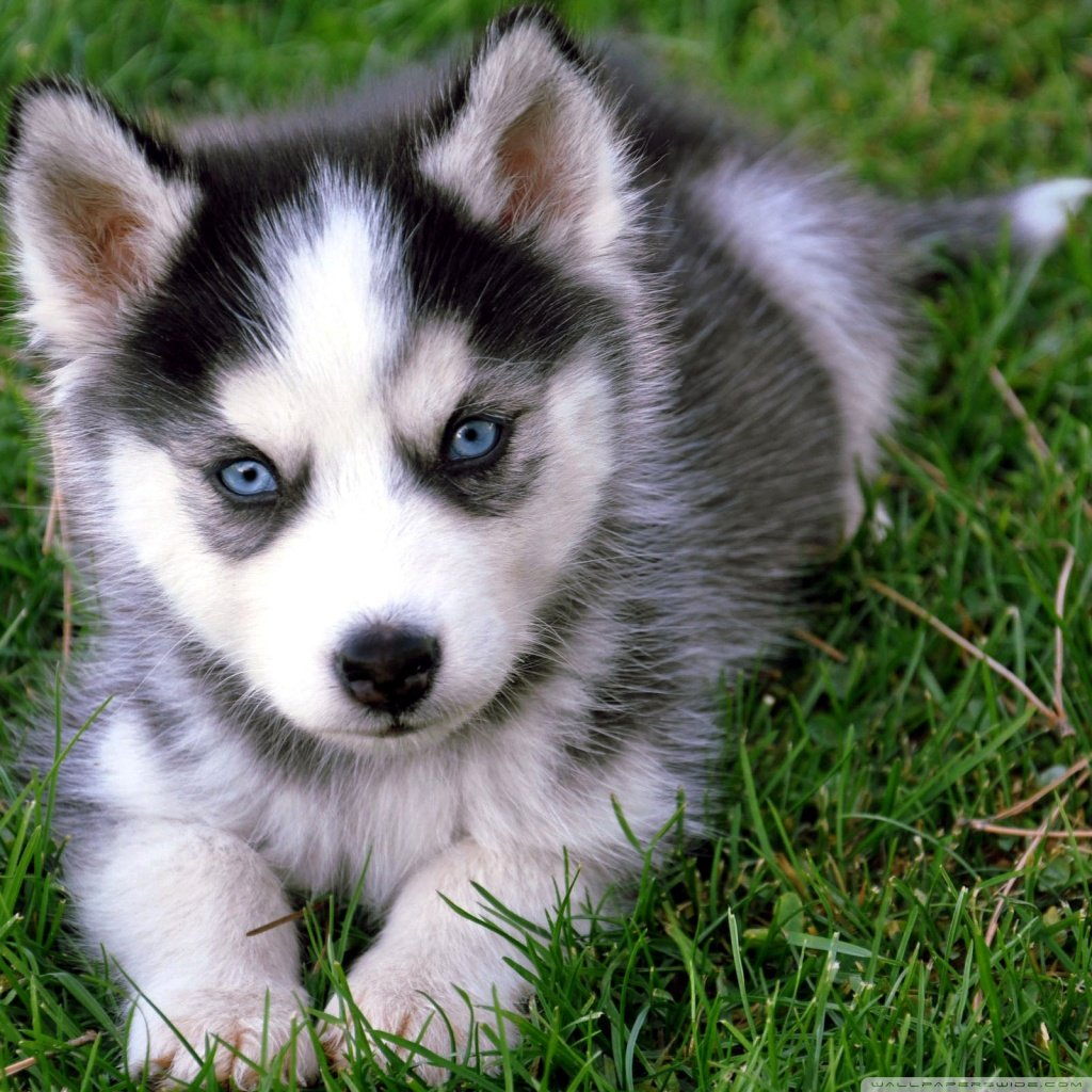 Cute Husky Puppy 4K HD Desktop Wallpaper for 4K Ultra HD TV 1024x1024