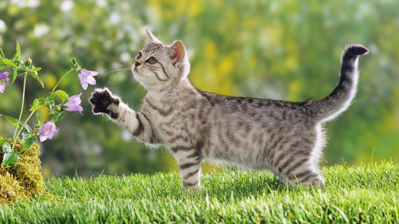 Cat Wallpapers Download Download Wallpaper 1366x768